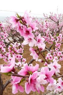 霍尔果斯桃花节,中哈边境合作区一日游
