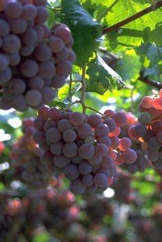徐州汉王庄园采摘,美味多汁的葡萄等你来品尝!