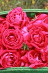 4月24日八街赏玫瑰花摄影、品尝农家八大碗之旅
