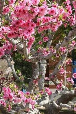 25日大连旅顺赏樱花