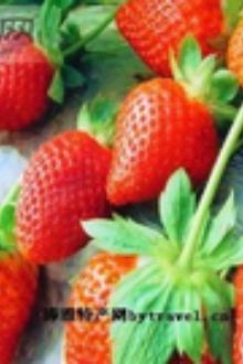 草莓采摘+挖野菜半日游