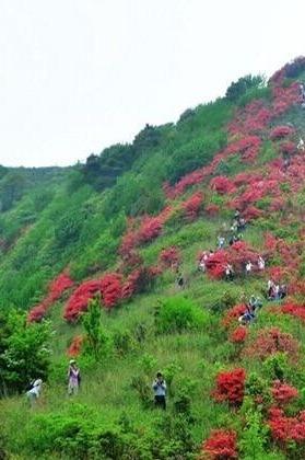 4月10日(周日)从化通天蜡烛,赏漫山遍野红杜鹃