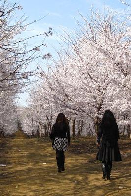 平坝樱花徒步