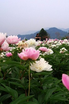 4月26日,一日徒步中江芍药股赏万亩芍药花