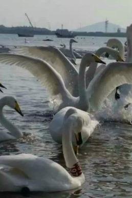 看天鹅+泡温泉 特惠二日游