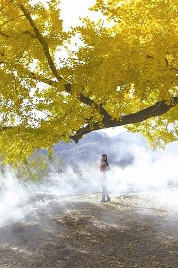 千年银杏树,千年等待,银杏树下,我这这里等你!
