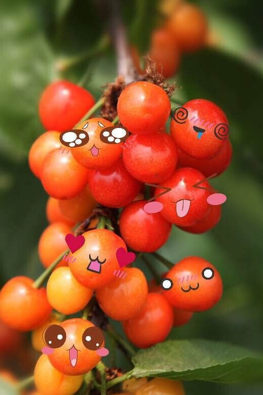 樱桃红了—赤岸樱桃采摘活动
