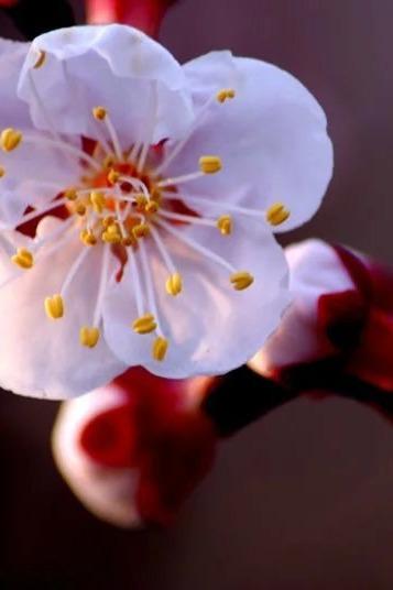 3月19日领队森林邀您托克逊探访最美含苞待放杏花苞