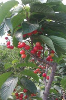 崂山北宅摘樱桃吃
