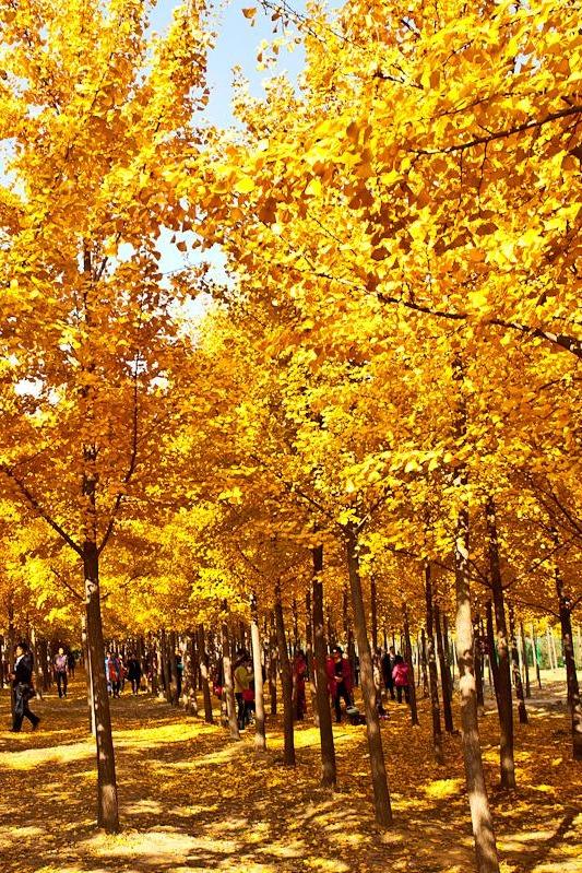 11月20日 汉阳陵银杏林 茯茶小镇休闲1日游