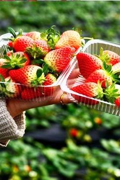 4月9日高品质单身男女天沐温泉旅游+摘草莓