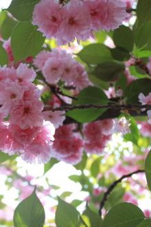 放假看樱花