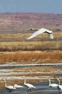 3月21~22日乌海黄河湿地赏天鹅、沙漠拍照休闲宿营活动