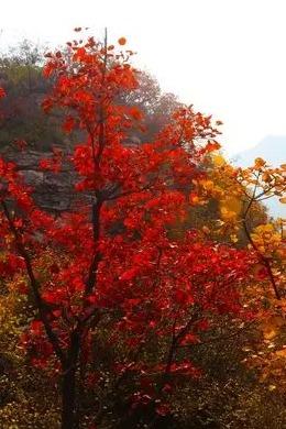 10.17好好户外邀你畅游黄河三峡赏红叶