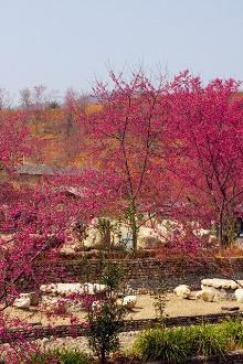 02月01相约新丰樱花峪萦绕在樱花的世界