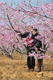 3月20日 周日 津湾赏桃花+采摘草莓。