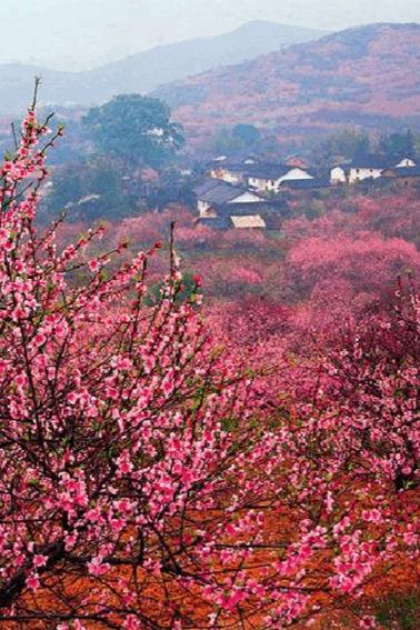 3月5日(周六)恭城.桃花节、桃花梨花的海洋