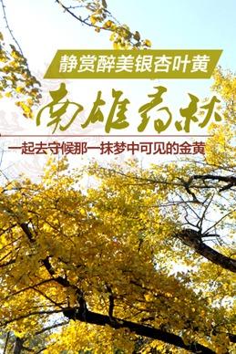 11月14-15秋日私语,静赏韶关南雄银杏叶黄