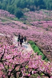 3月20宁海胡陈桃花节、探访许家山石头村