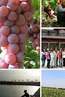 天夏一家沙漠鲜葡萄采摘活动