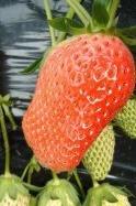 草莓采摘游