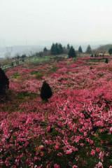 4月24太平公园赏紫荆花一日
