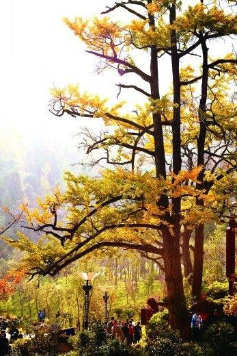 11月11-13号贵州银杏之乡妥乐村扫黄之旅