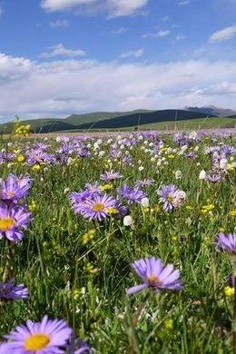 周末相约美丽的草原花海——俄木糖