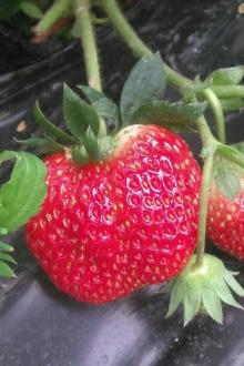 户外旅行,品味草莓
