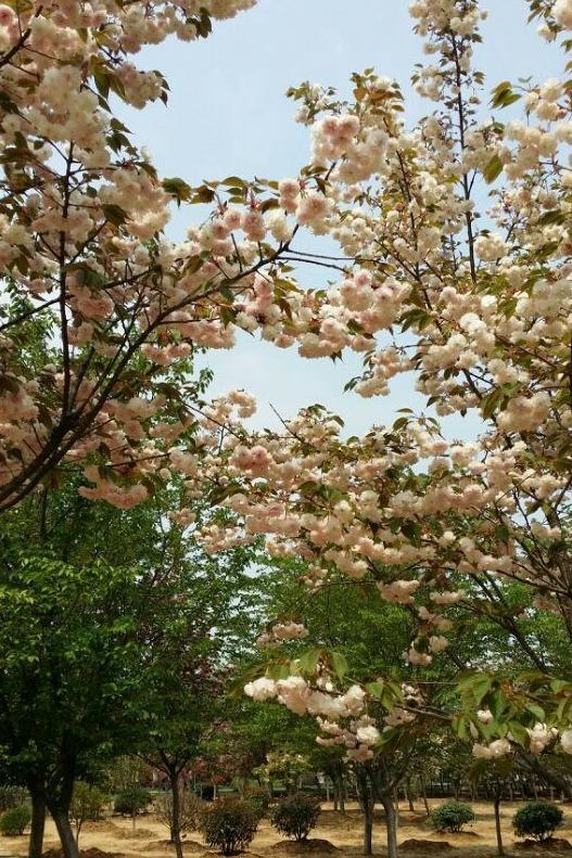 聆听花开的声音——浮山赏樱、岩藤农场休闲活动
