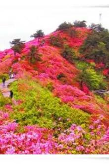 游尧山最美风光,赏满山杜鹃花开。
