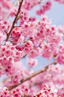 我们一起去看樱花!一起感受那份浪漫