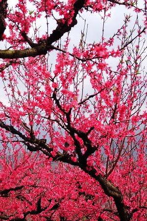 3月13日连平桃花山-春暖花开万亩桃花朵朵开一天游