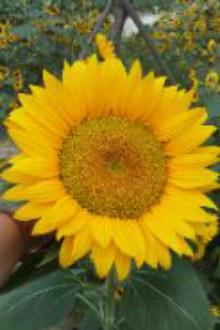 9月19号孝感金卉庄园看品种各异滴葵花啦!