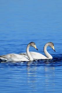 远方户外11月12日与天鹅约会七星湖