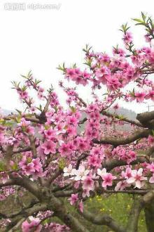长矛山看桃花