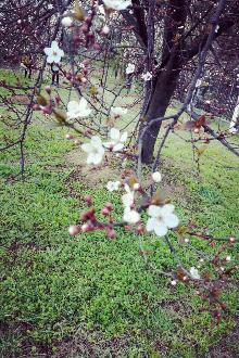 樱花的季节到了