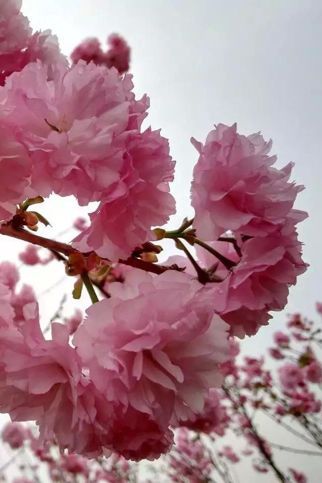 12-13日从化赏樱花、摄影休闲活动召集