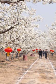 北镇梨花节
