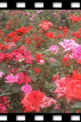 交友群组织去莱州赏月季花和玫瑰花