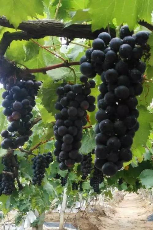 6月8日(周三)我们一起到无公害果园摘葡萄去