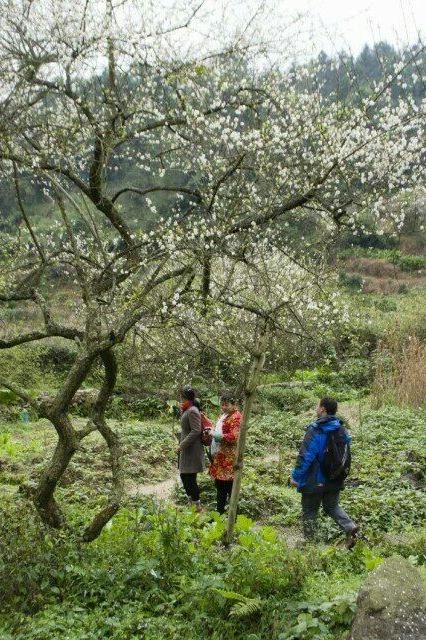 1月7日(周六)陈平乡赏梅花、派仙山穿越一日之旅