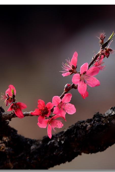 3月13日春暖花开,寻找那世外桃源之连平万亩桃花