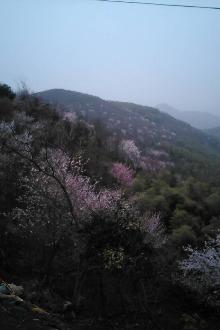 葛仙山樱花