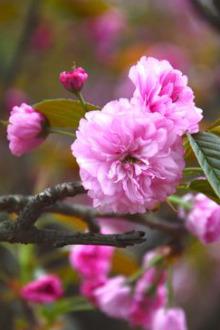 跟着阳光赏樱花