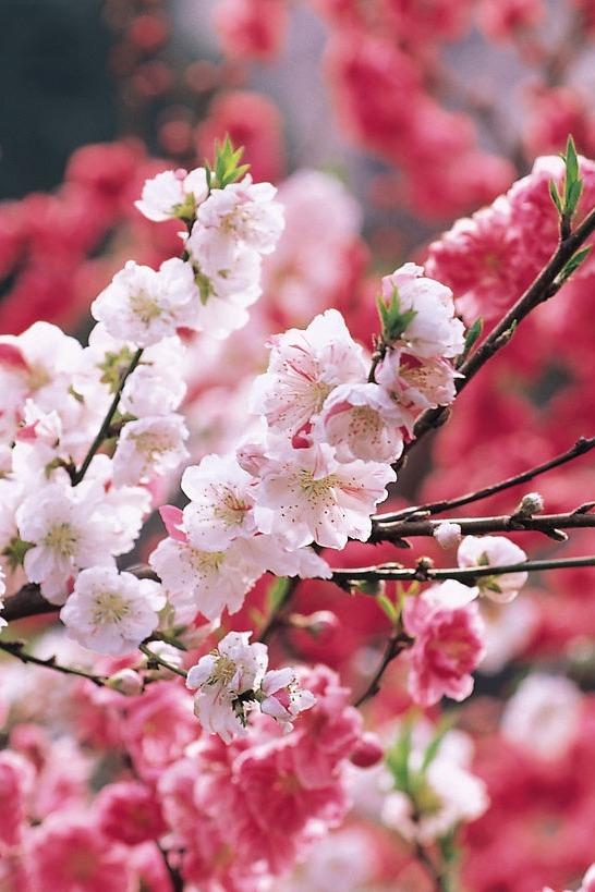 四月樱花落,暮沉西山情仇万丈