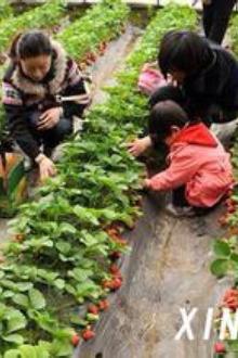 摘草莓活动开始啦!一起走进大自然吧!