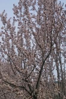4月10(周日)喜德盛邀您一起去看樱花