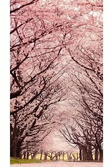 4月10日走入章水杖锡,邀您一起春天漫步花海-樱花
