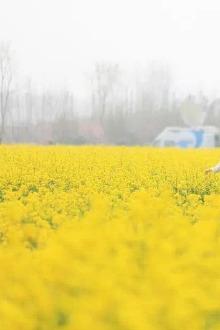 飘逸户外4月24周日西海岸赏油菜花活动召集